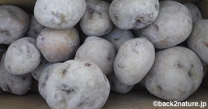 ジャガイモの種芋を植える