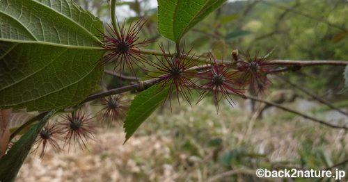 ヒメコウゾ:小さいウニみたいな花