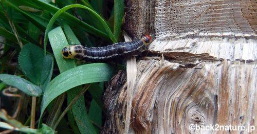 ハジマヨトウの幼虫に淡竹が喰われる