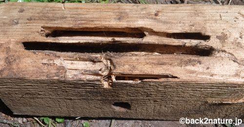 ムネアカオオアリに家の柱を食い荒らされる