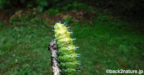 シンジュサンの幼虫