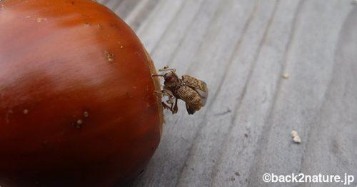 栗に虫を産み付けるクリシギゾウムシ