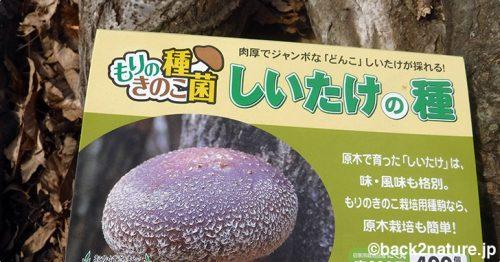 シイタケの種駒をクリの榾木に仕込む