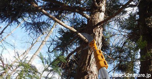 杉の枝打ち